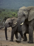 Adult and Juvenile Elephant Walk Side by Side Photographic Print by Kenneth Garrett