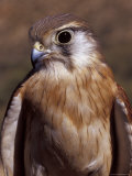 Australian Kestrel Head, Sharp Beak and Eye Photographic Print by Jason Edwards