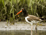 American Oystercatcher Foraging for Food, Tampa Bay, Florida Photographic Print by Tim Laman