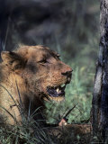 Closeup of an African Lion, South Africa Photographic Print by Kenneth Garrett