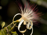 Closeup of a Provision Tree Flower, Belize Photographic Print by Tim Laman