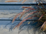 Close View of the Flowers of Ornamental Grass against a Blue Wall, Stonington, Connecticut Photographic Print by Todd Gipstein