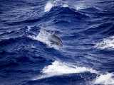 Bottlenose Dolphin Riding Waves, French Polynesia Photographic Print by Tim Laman