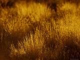 At Dawn Elegant Backlit Native Grasses Sprout from Desert Sand Dunes, Australia Photographic Print by Jason Edwards