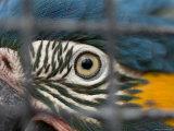 Blue-Throated Macaw, Sedgwick County Zoo, Kansas Stampa fotografica di Sartore, Joel