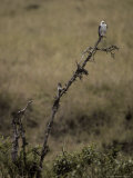 Black Shouldered Kite Roosting on a Dead Tree Searching for Prey Photographic Print by Jason Edwards