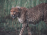 Cheetah Stalking Through Tall Grasses, Kenya Photographic Print by Ira Block