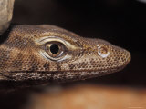 Close-Up of a Black-Headed Monitor's Head, Eye, Nose and Mouth, Australia Photographic Print by Jason Edwards