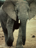 Closeup of a Juvenile African Elephant Photographic Print by Kenneth Garrett