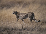 Cheetah Stalks its Prey Preparing to Attack with Great Speed, Serengetti, Tanzania Photographic Print by Jason Edwards