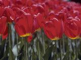 Closeup of Red Tulips, Washington, D.C. Photographic Print by Kenneth Garrett
