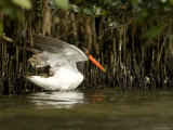 American Oystercatcher with Mangrove Trees, Tampa Bay, Florida Photographie par Tim Laman