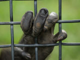 Chimpanzee Holds Onto the Bars of its Cage, Sunset Zoo, Kansas Photographic Print by Joel Sartore