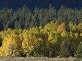 Aspen Fall Colors near Mammoth Lakes in the Eastern Sierra Mountains, California Photographic Print by Rich Reid