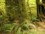 Closeup of a Tree Trunk and Ferns in a Rainforest, Washington Photographic Print by Tim Laman