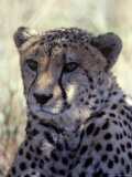 Closeup of a Cheetah, South Africa Photographic Print by Kenneth Garrett