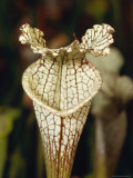 Carnivorous Trumpet Pitcher Plant, Sarracenia Luecophylla Hybrid, Australia Photographic Print by Jason Edwards