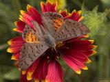Ares Metalmark Feeds on a Flower Fotoprint van George Grall