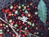 Basket of Freshly Harvested Coffee Berries, Hawaii Photographic Print by Ira Block