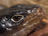 Close-Up of a Land Mullet&#39;s Head, Eye Mouth, Nostril and Scales, Australia Photographic Print by Jason Edwards