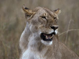 African Lioness in Her Prime Pants Following a Hunt and Kill Photographic Print by Jason Edwards