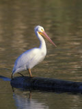 American White Pelican Perched on a Log Photographic Print by Rich Reid