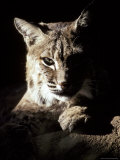 Bobcat Sitting in a Ray of Sun, Relaxed with a Predator's Stare Photographic Print by Jason Edwards
