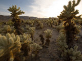 Cholla Garden on the South Side of the Park, Joshua Tree National Park, California Photographic Print by Michael S. Lewis