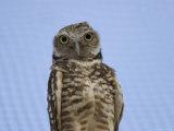 Burrowing Owl at the Omaha Zoo, Nebraska Photographic Print by Joel Sartore
