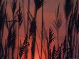 Closeup Silhouette of Grains against a Rising Sun Photographic Print by Kenneth Garrett