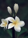 Close View of a Delicated Plumeria Flower, Hawaii Fotoprint van Ira Block