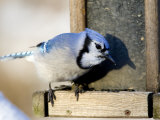 Closeup of a Blue Jay at a Bird Feeder, Lexington, Massachusetts Photographic Print by Tim Laman