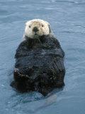 Closeup of a Sea Otter, Alaska Fotografisk tryk af Rich Reid