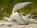 Caspian Terns Fight over a Fish Meant for Courtship Photographic Print by Tim Laman