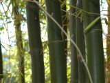 Close View of Bamboo Photographic Print by Stacy Gold