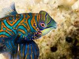 Closeup of Male Mandarinfish, Malapascua Island, Philippines Fotografisk tryk af Tim Laman