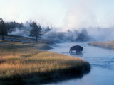 Bison Crosses the Firehole River Flowing Through Geyser Basins, Yellowstone Photographic Print by Michael S. Lewis