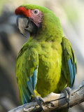 Buffon's Macaw from the Sedgwick County Zoo, Kansas Stampa fotografica di Sartore, Joel