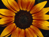 Closeup of a Sunflower Seed Bed Surrounded by Orange-Yellow Petals, Australia Photographic Print by Jason Edwards
