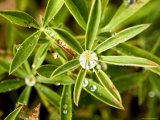 Closeup of Lupine Leaves with Water Drops, Washington Photographic Print by Tim Laman