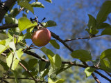 Close View of an Apple Still on the Tree Photographic Print by Stacy Gold