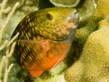Closeup of a Stoplight Parrotfish, Belize Photographic Print by Tim Laman