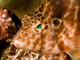 Closeup Portrait of a Hawkfish, Malapascua Island, Philippines Photographic Print by Tim Laman