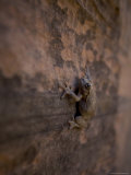 Canyon Tree Frog Clings to a Cliff in Zion National Park Photographic Print by John Burcham