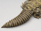 Brush-Tailed Lizard at the Sedgwick County Zoo, Kansas Photographic Print by Joel Sartore