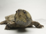 Big-Headed Turtle from Asia at the Sedgwick County Zoo, Kansas Photographic Print by Joel Sartore