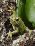 Barking Treefrog Peers from the Crotch of a Tree Photographic Print by George Grall