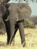 African Elephant Face and Body Portrait with Impala on the Savannah Photographic Print by Jason Edwards