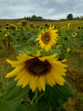 Close View of a Sunflower at the Edge of a Field of Sunflowers, Tuscany, Italy Photographic Print by Todd Gipstein