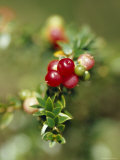Bright Red Berry Shines from an Alpine Shrub on a Summers Day, Alpine Nationals Park, Australia Photographic Print by Jason Edwards